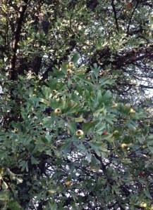 Pour la petite histoire : il est conté qu'on ne doit jamais couper, arracher une branche de cet arbre sous peine de perdre brutalement la vie dans la semaine qui suit...