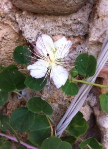 Câpre en fleur